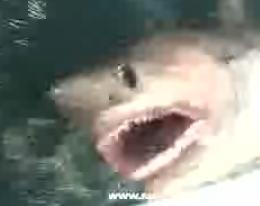 Salmon Shark1