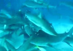 サメに餌付け5