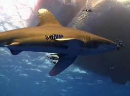 Oceanic Whitetip6