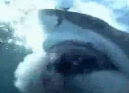 ホオジロザメ25