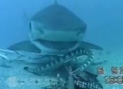 餌に喰いつくサメ