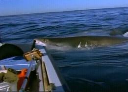 サメに餌付け11