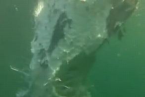 巨大サメの死骸