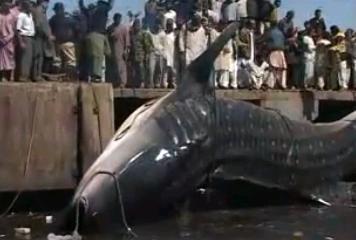 巨大ジンベエザメ