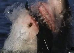 ホオジロザメ54