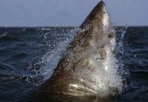 Great White Shark56