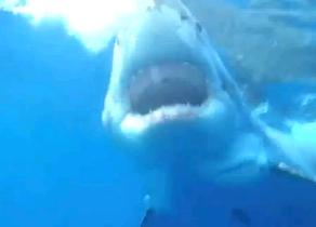 Great White Shark57