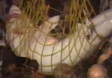 捕獲された巨大ザメ