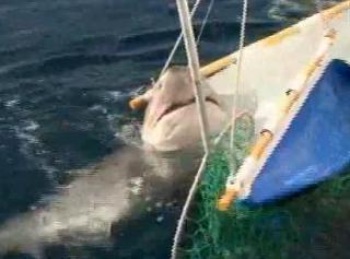 カグラザメが網にかかる