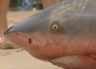 浜に打ちあがったオオメジロザメ