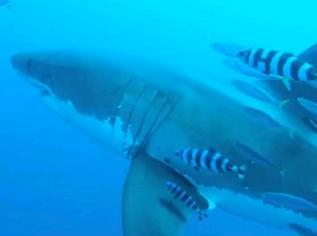ホオジロザメ64
